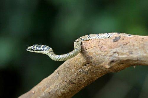 Змеи могут планировать как птицы (3 фото+видео)