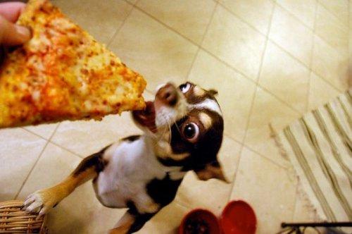 Cобаки, которые души не чают в пицце (20 фото)
