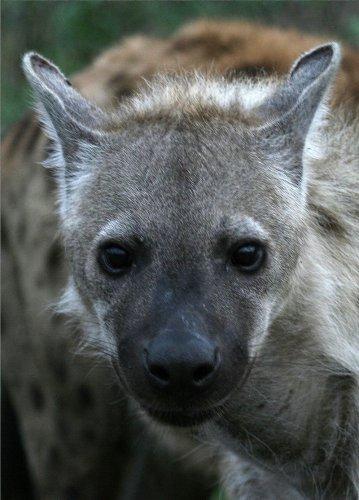 Интересные факты о гиенах (11 фото)