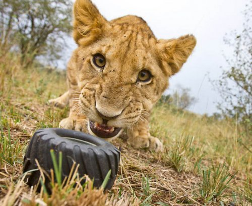 Львы крупным планом (21 фото)