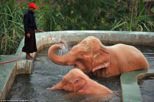 Оказывается, розовые слоны существуют!