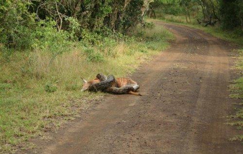 Питон поймал на обед кенгуру (3 фото)