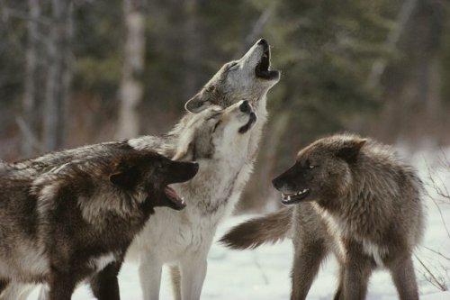 Интересные факты о волках (10 фото)