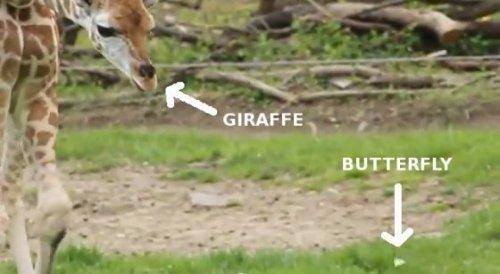 Маленький жираф Баринго забавно ловит бабочку