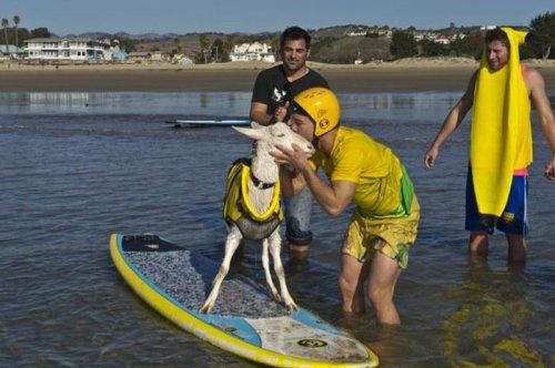 Коза Гоати - большая любительница серфинга (7 фото+видео)