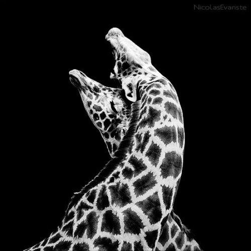Чёрно-белые фотографии животных (50 фото)