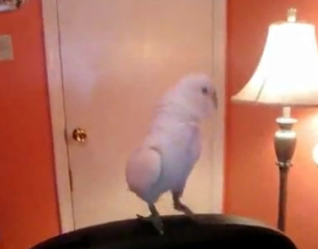 Юмор: Музыкальный попугайчик