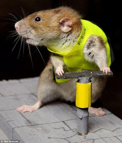 Алло, мы ищем крысиные таланты! (7 фото)