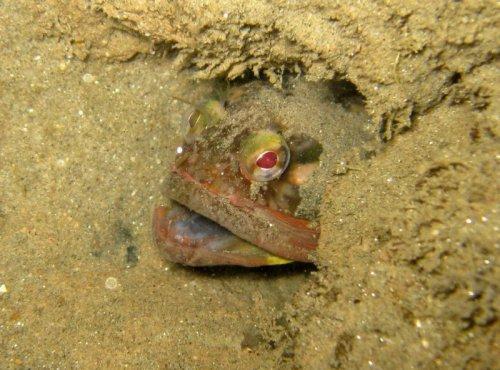 Необычные обитатели подводного мира: Neoclinus blanchardi (5 фото+видео)
