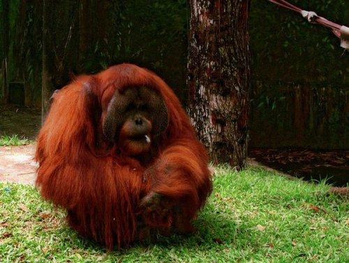 Это интересно: Самцы орангутангов задерживают собственное половое созревание