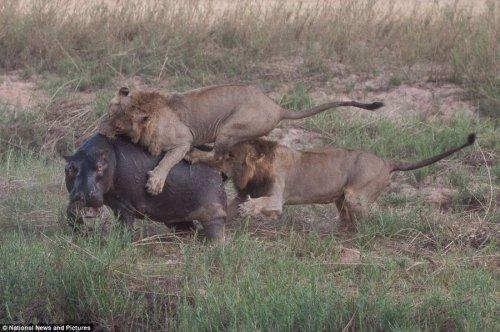 Драма жизни:охота львов на гиппопотама (12 фото)