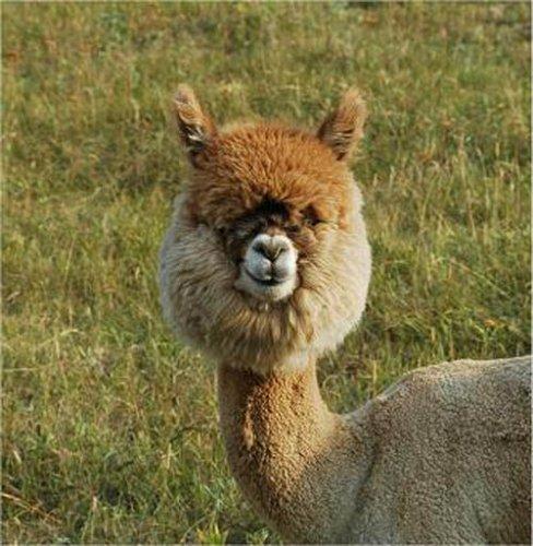 Прикольные стрижки альпаков (25 фото)