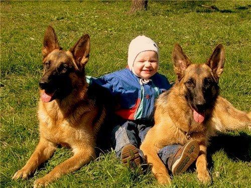 эксперта: Перед немецкая овчарка и дети функция