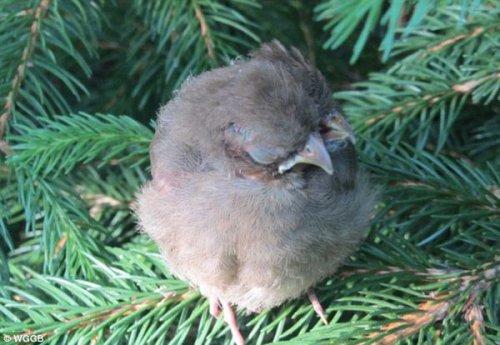 Двухголовый птенец (3 фото)