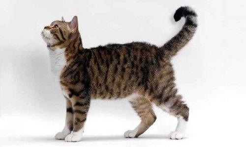 Десятка самых редких и дорогих пород кошек (10 фото)