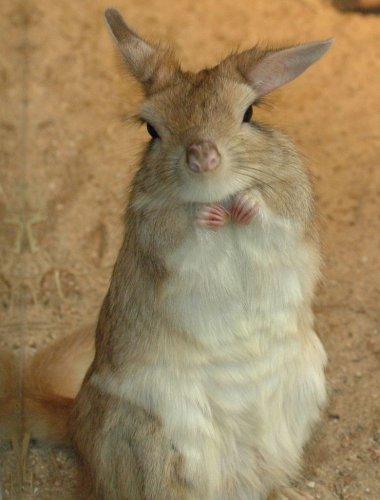 Долгоног, или капский долгоног (9 фото+видео)
