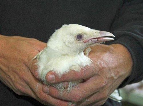 Спасение белой вороны (2 фото)
