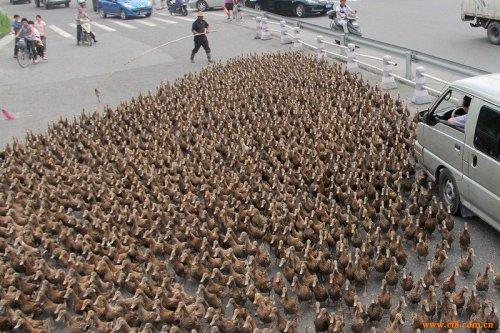 Утиный пастушок из Китая (7 фото)