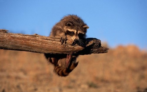 Один день из жизни енота (20 фото)