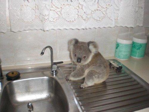 Милый коала Джимми (6 фото)