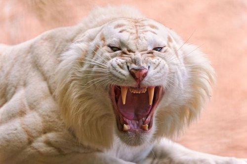 Белые тигры (24 фото)