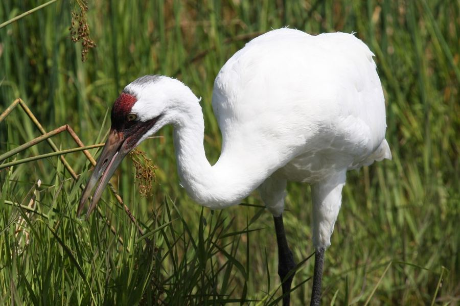 белый журавль фото птицы карелии