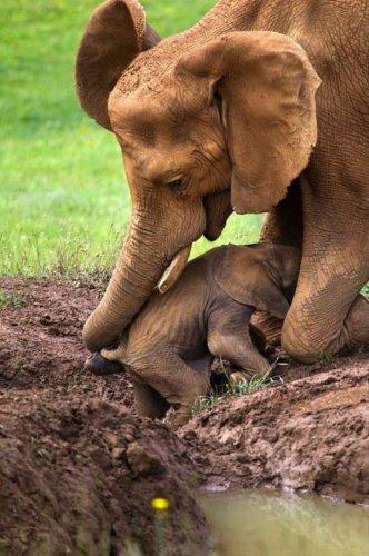Заботливая слониха (4 фото)