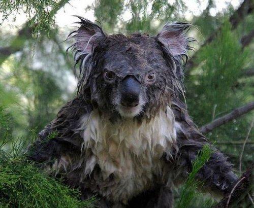 На кого похож мокрый коала? (3 фото)