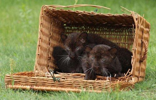 Недавно родившихся котят пантеры показали публике (15 фото)