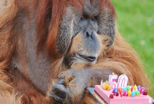Самый старый орангутан в мире (4 фото)