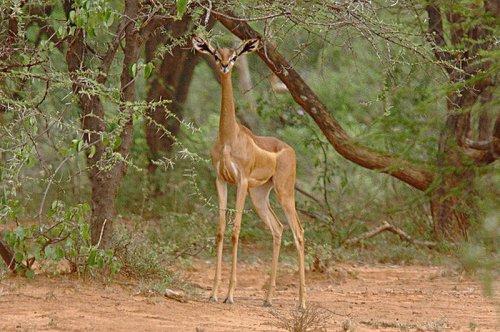 Геренук, или жирафовая газель (12 фото+видео)