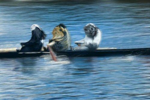 Календарь 'Морские свинки на Олимпийских играх' (12 фото)