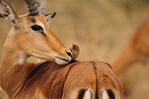 Антилопы (55 фото)