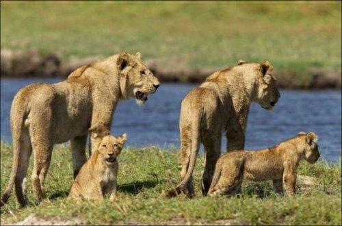 Схватка львицы с крокодилом (11 фото)