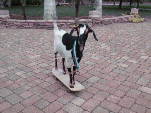 Коза на скейтборде установила мировой рекорд