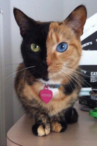 Удивительная двуликая кошка (6 фото)