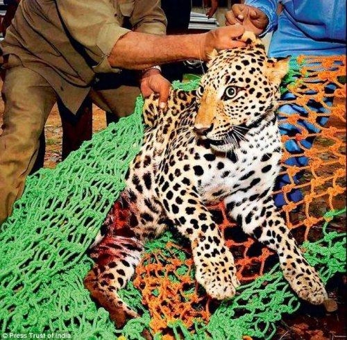 В Индии спасли самку леопарда застрявшую на металлической ограде (4 фото)