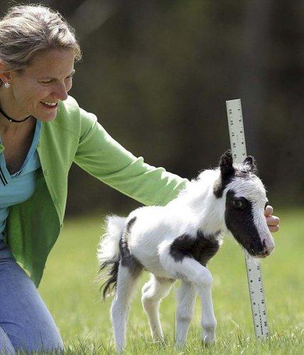 Самая маленькая лошадка в мире (13 фото)
