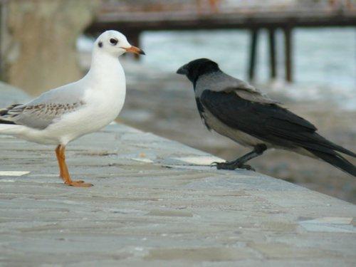 Чайка и ворон