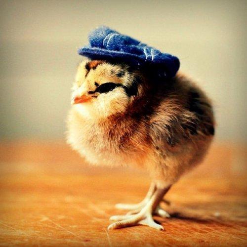 Симпатичные цыплята от фотографа Джулии Персонс (8 фото)