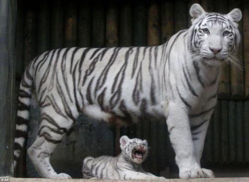 Тройня белых бенгальских тигрят (6 фото)