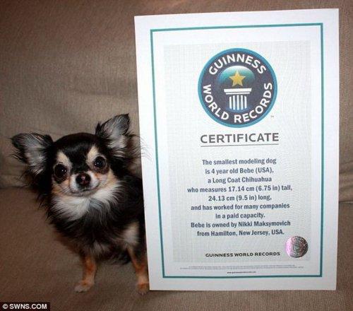 Длинношерстная чихуахуа Биби - самая маленькая собака в мире (2 фото+видео)