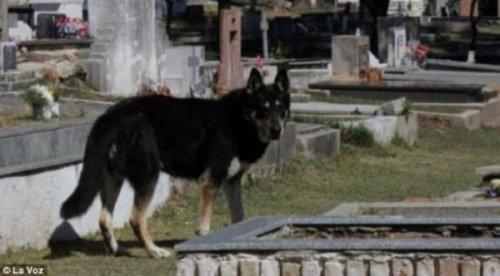 Верный пёс сам нашел могилу хозяина и уже 6 лет живет на ней (3 фото)