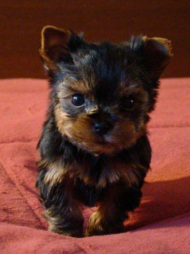 Йоркширский терьер — одна из самых маленьких пород собак (15 фото)