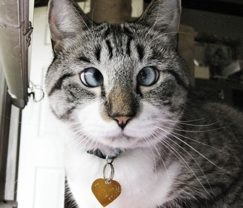 Cамый милый косоглазый кот в интернете (6 фото)