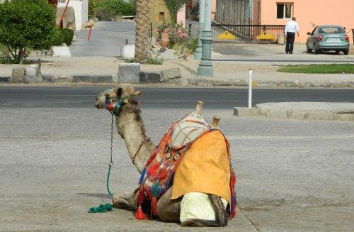 Сбежавший верблюд Шаман