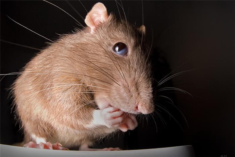 Надписями, картинка прикольная крыса