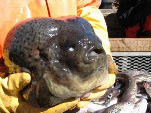 Самая грустная рыба в мире (6 фото)