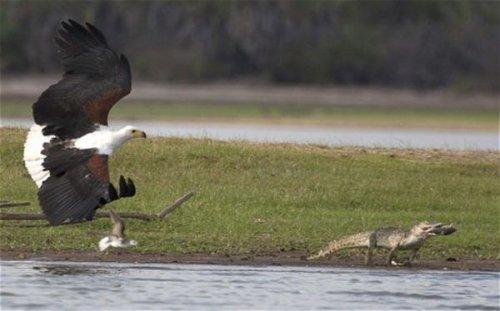 Африканский рыбный орёл отобедал нильским крокодилом (3 фото)