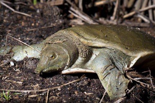 Это интересно:Оказывается, дальневосточная черепаха писает ртом